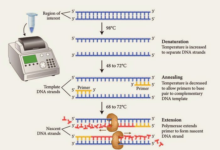 PCR fases
